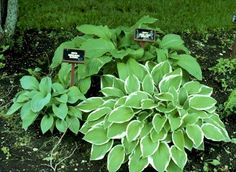 Finally added some hostas to my yard a couple of years ago..they line the one side of my white picket fence, just hope they do better this year than last.