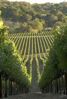"sweetlysurreal: "" Chalk Hill Vineyard authenticwinecountry.com """