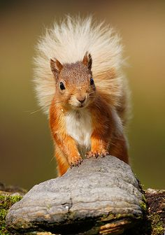 Red Squirrel by mikejrae - Mike Rae Animals And Pets, Baby Animals, Cute Animals, Squirrel Pictures, Animal Pictures, Cute Squirrel, Squirrels, Beautiful Creatures, Animals Beautiful