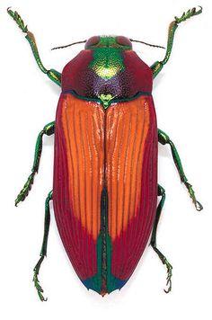 Themognatha Carpentarie