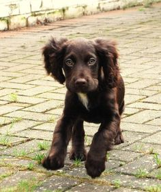 A list of the cutest brown cocker spaniel pictures. Are you in the mood to see some adorable photos of cocker spaniels? This is a list of some of the cutest brown cocker spaniel photos. Spaniel Breeds, Spaniel Dog, Dog Breeds, Spaniels, Springer Spaniel, Kittens And Puppies, Baby Puppies, Cute Puppies, Corgi Puppies