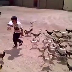 Niño aterrorizado perseguido por gallinas.