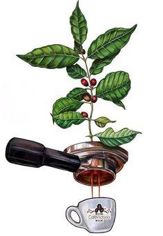 Coffee - the plant to espresso graphic