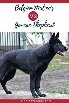 Belgian Malinois and German Shepherds are very similar dogs, who have similar physical traits and personalities. Read here to learn the most important similarities and differences between these two large dog breeds, and the best choice for different types Giant Dog Breeds, Giant Dogs, Large Dog Breeds, Best Dog Breeds, Belgian Malinois, German Malinois, Malinois Shepherd, Malinois Dog, Shepherd Dog