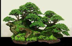 Juniperus Rigida Forest