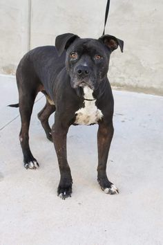 03/18/17- ODESSA, TX - EXTREMELY URGENT - Sam is on the list to be killed due to shelter overcrowding. Sam is good with other dogs. He is a laid back guy with lots of love to give!! Sam is a Staffordshire Terrier 5-7 years old Kennel A21 $80 to adopt FULLY VETTED ADOPT/RESCUE/FOSTER Located at Odessa, Texas Animal Control
