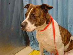 This DOG - ID#A187171 stray 2/24 I am an unaltered female, white and brown brindle Pit Bull Terrier. GARLAND ANIMAL SHELTER, TX 972-205-3570, Press option 2 then 4 To tag for your rescue, email ID number of the animal, and a description to rescue@garlandtx.gov https://www.facebook.com/GarlandAnimalShelterVolunteerPage/photos/a.232474773562452.1073741828.232454186897844/368463836630211/?type=1&theater