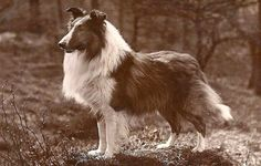 Vintage Doggy: Vintage Collies