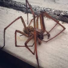 real giant spiders - Google Search