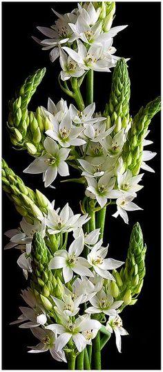 "flowersgardenlove: ""Star of Bethlehem (O Beautiful gorgeous pretty flowers """