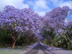 6. Tunnel of jacarandas  in South Africa