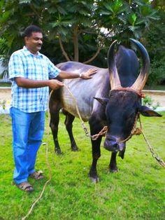 A movement to save Kangayam cattle gaining momentum