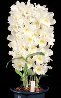 Dendrobium Spring Dream Apollon
