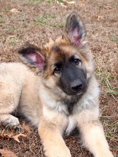 Wicked Training Your German Shepherd Dog Ideas. Mind Blowing Training Your German Shepherd Dog Ideas. Shiloh Shepherd, German Shepherd Dogs, German Shepherds, King Shepherd, I Love Dogs, Cute Dogs, Adorable Puppies, Malinois, Schaefer