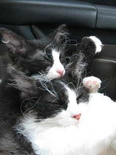 Pictures of LaPerm Cat Breed @Kari Pelaez I totally need one of these cats!  we would match :)