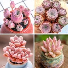 PINK SUCCULENTS FOR SALE - SET OF 4. Our Pink Succulents For Sale - Set Of 4 are very unique and rare among succulent lovers. They are so beautiful and magical like those from fairy tales. Rose succulents are attractive succulent perennials that form clumps up to 40cm in diameter. They require little maintenance to survive indoors. These lovely Succulents are very adaptable houseplants and will thrive in a range of indoor conditions. Grab yours today!