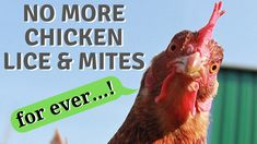 No drug and chemical use, the most natural and effective way to get rid off chicken lice and mites from your chicken coop! Help your chicken be free from bugs once and for all. And a little trick...add some soil on top of it at the beginning so the chicken can go there more easily. Good riddance lice and mites!!!!👋🙂