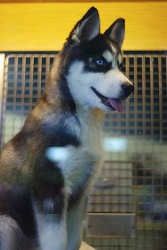 Siberian Husky. If I didn't live in the heat of Mississippi I would LOVE one of these dogs!