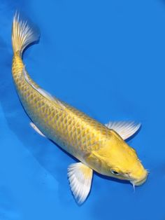 1000 images about koi fish on pinterest koi butterfly for Yellow koi fish