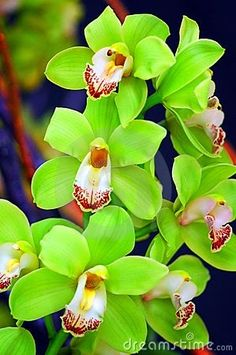 Green Orchids