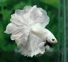 Moon tale fighter fish