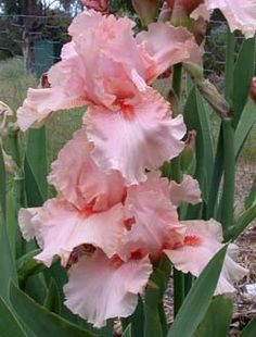 Pink Champagne Iris.  Ruffled azalea pink self with mandarin orange beards. Sweet fragrance. Vigorous.