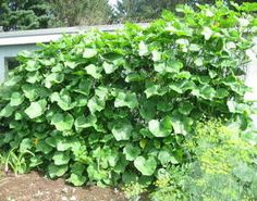 Grow Squash Vertically on Instructables