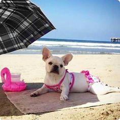 French Bulldog in a Pink Bikini at the Beach, Scandalosa!!