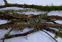 20 freshly picked from the forest floor moss, lichen covered tree branches. These little branches have a lot of lovely shades of green and brown
