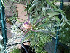 Tillandsias air plant outdoor garden  www.ecoterrrazas.com