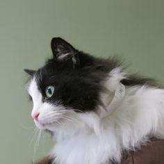 Ragdoll cat rescue cincinnati