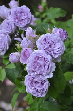 Hybrid Tea Rose: Rosa 'Le Ciel Bleu' (Spain, 1982)
