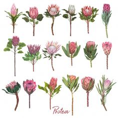 Birthday Card Illustration Hand Drawn Valentines Day Ideas For 2019 Flor Protea, Protea Art, Protea Flower, Watercolor Paper Texture, Watercolor Flowers, Watercolour, Botanical Art, Botanical Illustration, Flower Sketches