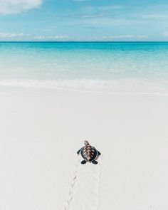 A baby sea turtle taking its first steps to the ocean in Madagascar. Photography by Cute Little Animals, Cute Funny Animals, Cute Wallpaper Backgrounds, Cute Wallpapers, Cute Baby Turtles, Underwater Animals, Ocean Wallpaper, Sea Turtle Wallpaper, Cute Animal Pictures