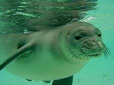 Hawaiian Monk Seal endangered species
