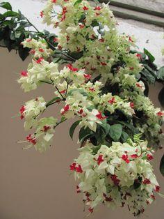Lagrima De Cristo   ... Fascinante: Clerodendron Thomsoniae...vulgo Lágrima de Cristo