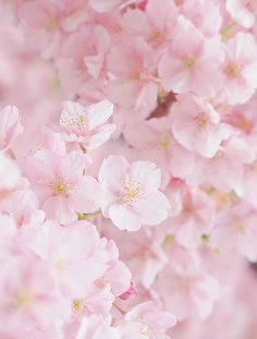 Sakura (by Jp-scenery) Flowers Nature, Pink Flowers, Beautiful Flowers, Flowers Garden, Sakura Cherry Blossom, Cherry Blossoms, Pink Blossom, Flower Aesthetic, Flower Wallpaper