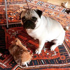 Pug =1, Mr. Hedgehog = 0... TKO! #pug #pugsofinstagram #puglife #persianrug