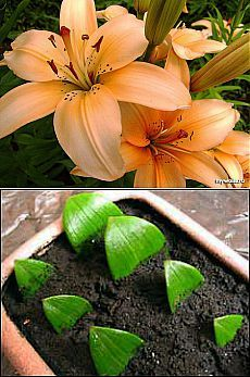 Let's multiply lilies quickly Indoor Orchids, Orchid Plants, Small Garden Uk, Garden Plants, House Plants, Growing Orchids, Dish Garden, Outdoor Garden Decor, Bathroom Plants