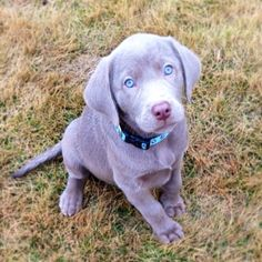 Silver lab puppy, with bright blue eyes