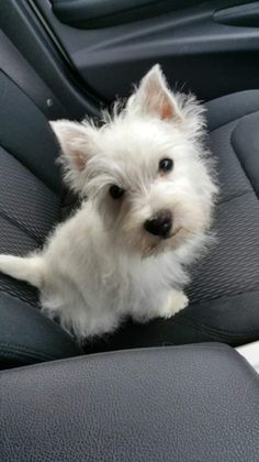 Dog Breeds 22 Best Westie Dog Pictures - meowlogy - Our puppies are raised in big pens below an exceptional system which makes our puppies simple to house train if you obey our instructions Westies, Westie Puppies, Cute Puppies, Cute Dogs, Doggies, Chihuahua Dogs, West Highland White Terrier, Baby Animals, Cute Animals