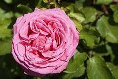 Les Rosiers Belmontais - Spécialiste du rosier - Auguste Renoir ® Var. Meitoifar (MEILLAND)