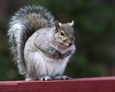 Birth Control For Squirrels  ... from PetsLady.com ... The FUN site for Animal Lovers