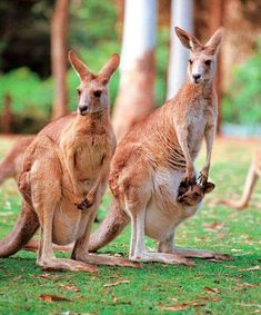 "Kangaroos are unique to Australia and they take pride in calling the country the ""land of Kangaroos."" Kangaroo appear in the Australian coat of arms, on the currencies and on the airline logos. Here is a glimpse of the kangaroo story. Statics of kangaroos Animals Of The World, Animals And Pets, Baby Animals, Cute Animals, Mundo Animal, My Animal, Beautiful Creatures, Animals Beautiful, Australia Animals"