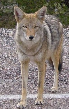 I never really thought of coyotes as pretty (the ones I've seen have always looked pretty rough) - but this guy is beautiful!