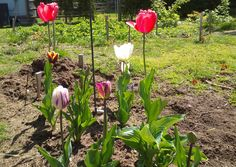 Too much work to do in the garden this year but the tulips are helping encourage me #gardening #garden #gardens #DIY #landscaping #home #horticulture #flowers #gardenchat #roses #nature