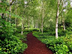 Garden With Red Mulches And Birch Trees : Enchanting Beauty Birch Trees In Your Garden