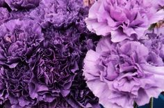 Carnations-Aquarian birthflower.They're purple too:)