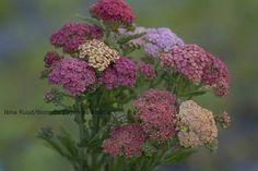 Ryllik, Achillea - summer pastels