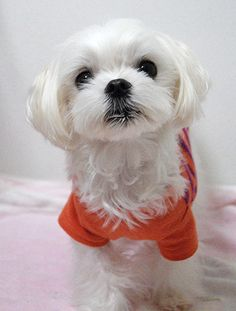I'm dreaming of a white Christmas Maltese